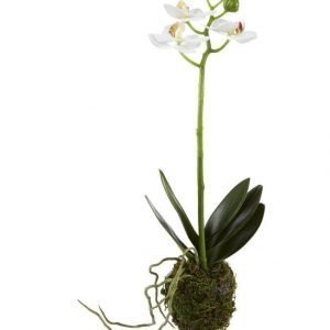 Lene Bjerre Sisustuskasvi Orkidea