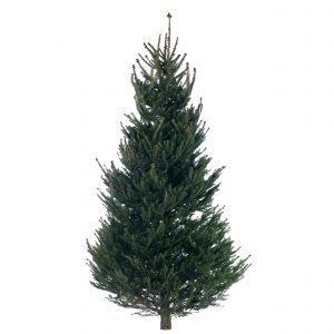 Metsäkuusi Picea Abies Joulukuusi 175-250 Cm