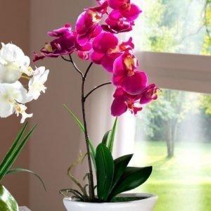 Orkidea Fuksia