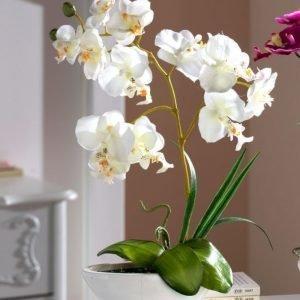Orkidea Valkoinen