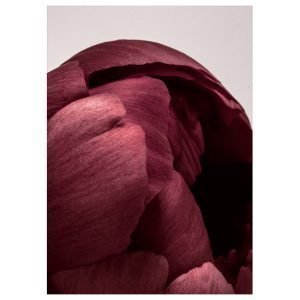 Paper Collective Peonia 01 Juliste 50x70 Cm