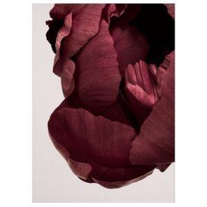Paper Collective Peonia 02 Juliste 50x70 Cm