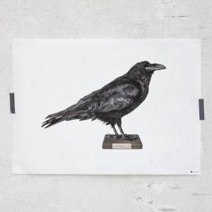 Rebel Walls Curious Raven Juliste 70x50 Cm